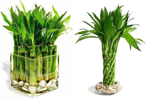 Денежный бамбук