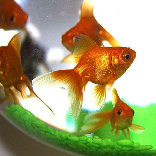 akvarium-s-zolotymi-rybkami-dlya-deneg-2